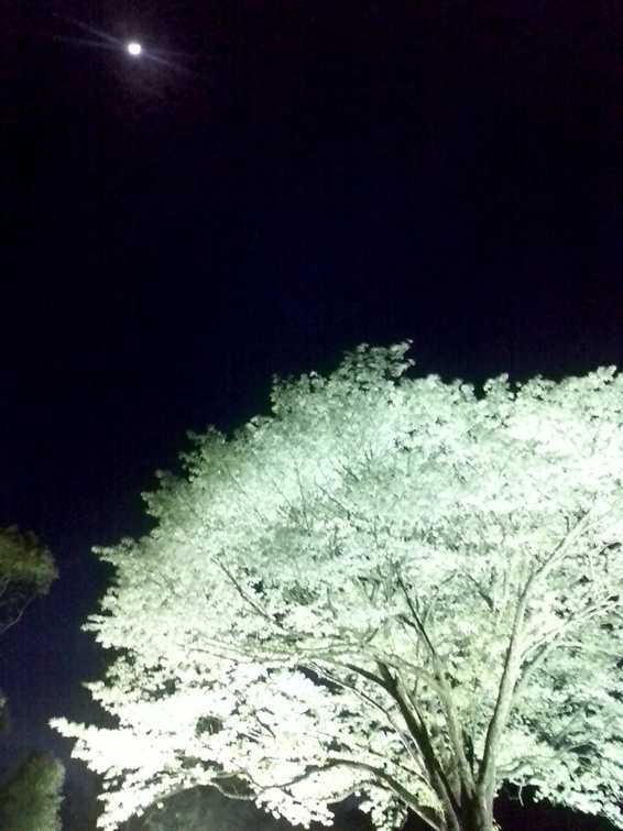月光桜.jpg